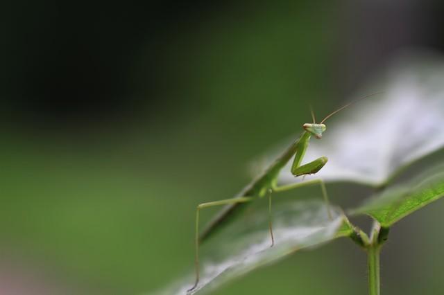 葉の上で待ち構える蟷螂の写真