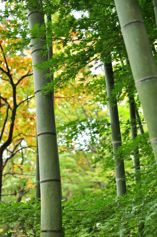 椛と竹の写真