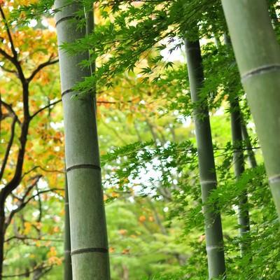 「椛と竹」の写真素材