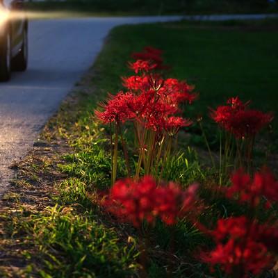 「ヘッドライトに照らされる彼岸花」の写真素材