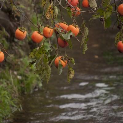 枝垂れる柿と水路の写真