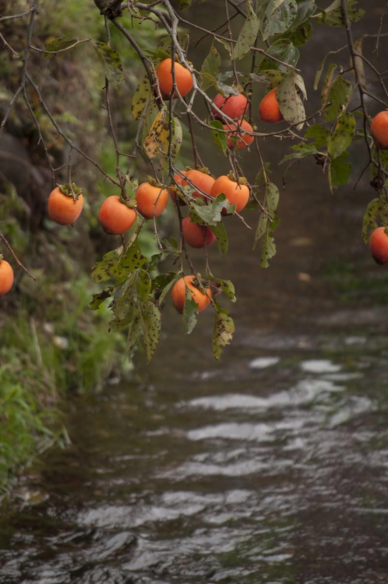 「枝垂れる柿と水路」の写真