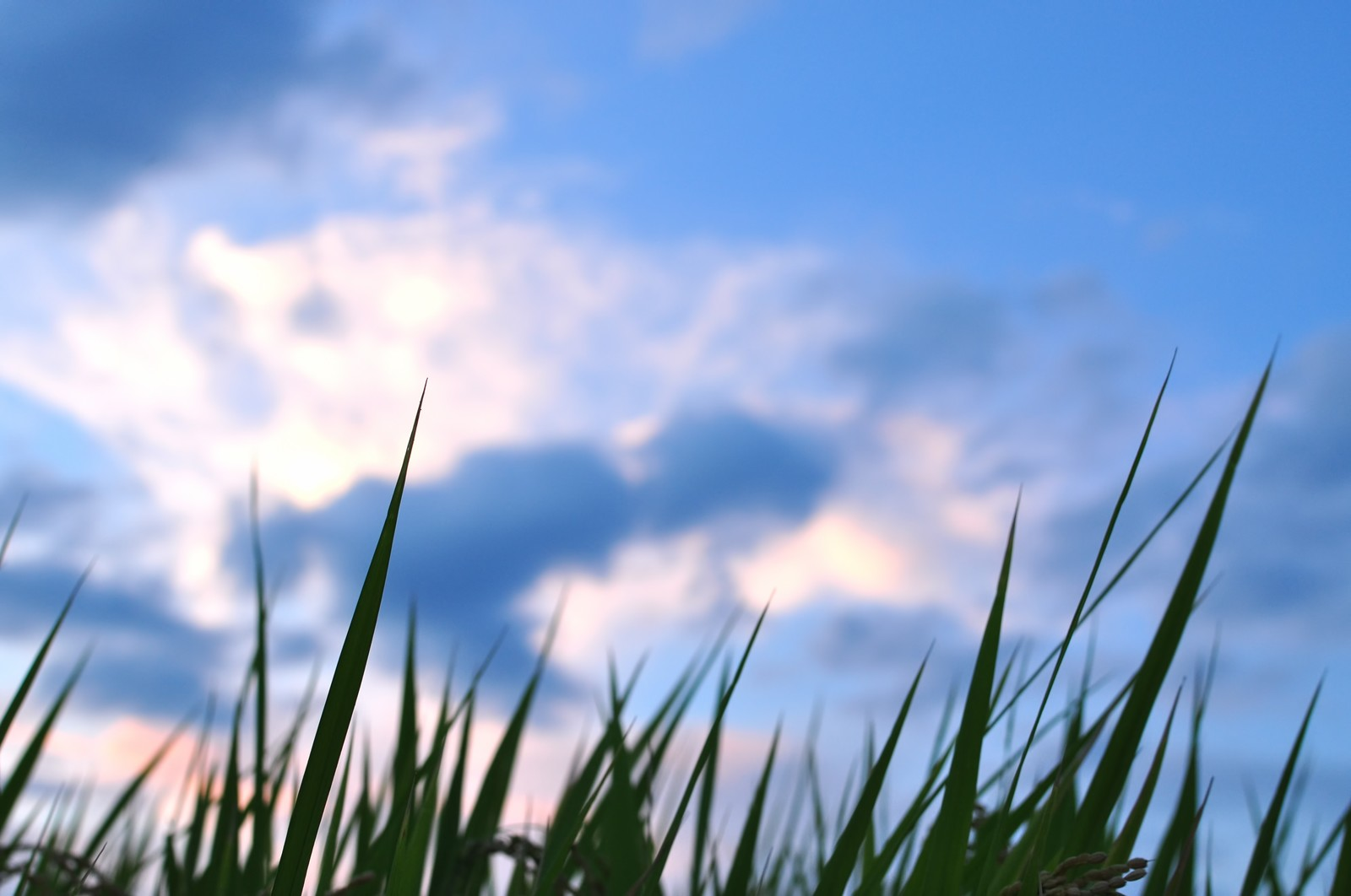 「夕暮れ時の稲穂」の写真