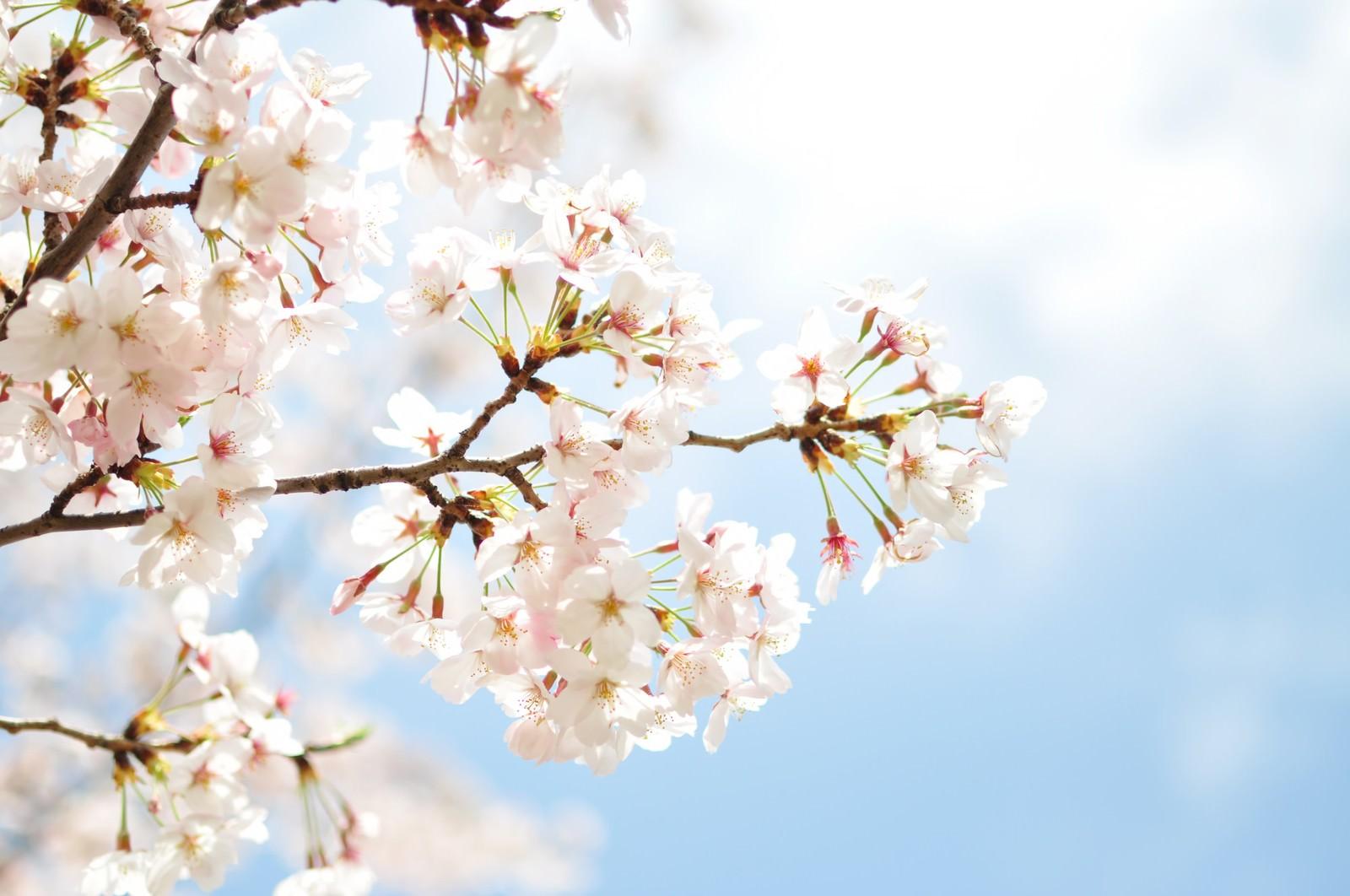 「淡い桜と青空」の写真