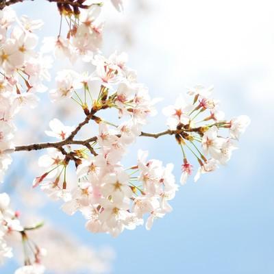 淡い桜と青空の写真