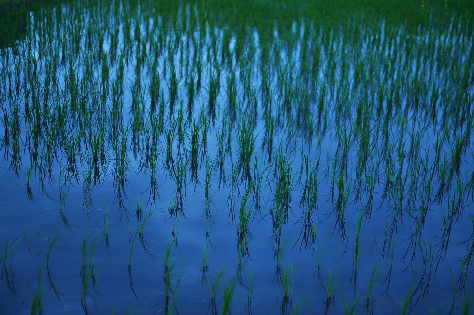「日没後の水田」の写真