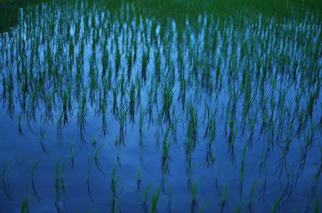 日没後の水田の写真