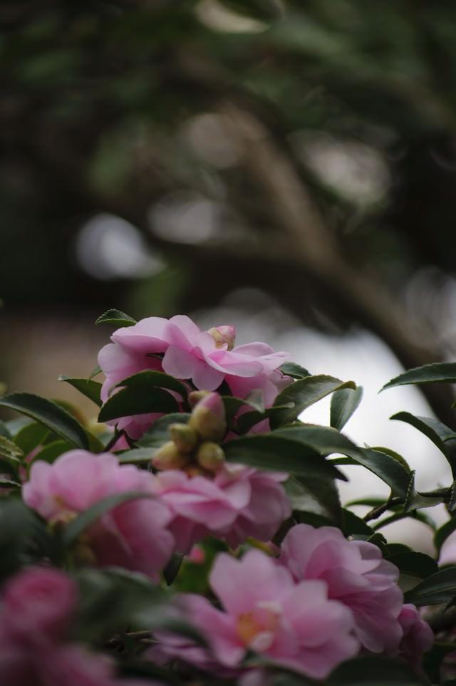 寒空の下で凛と咲く山茶花の写真