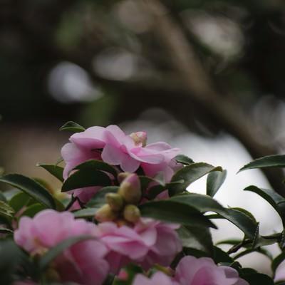 「寒空の下で凛と咲く山茶花」の写真素材