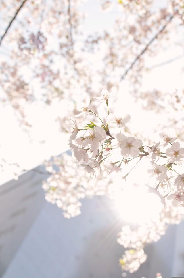 東京、日に透ける桜の花の写真