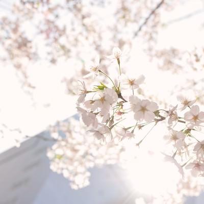 「東京、日に透ける桜の花」の写真素材
