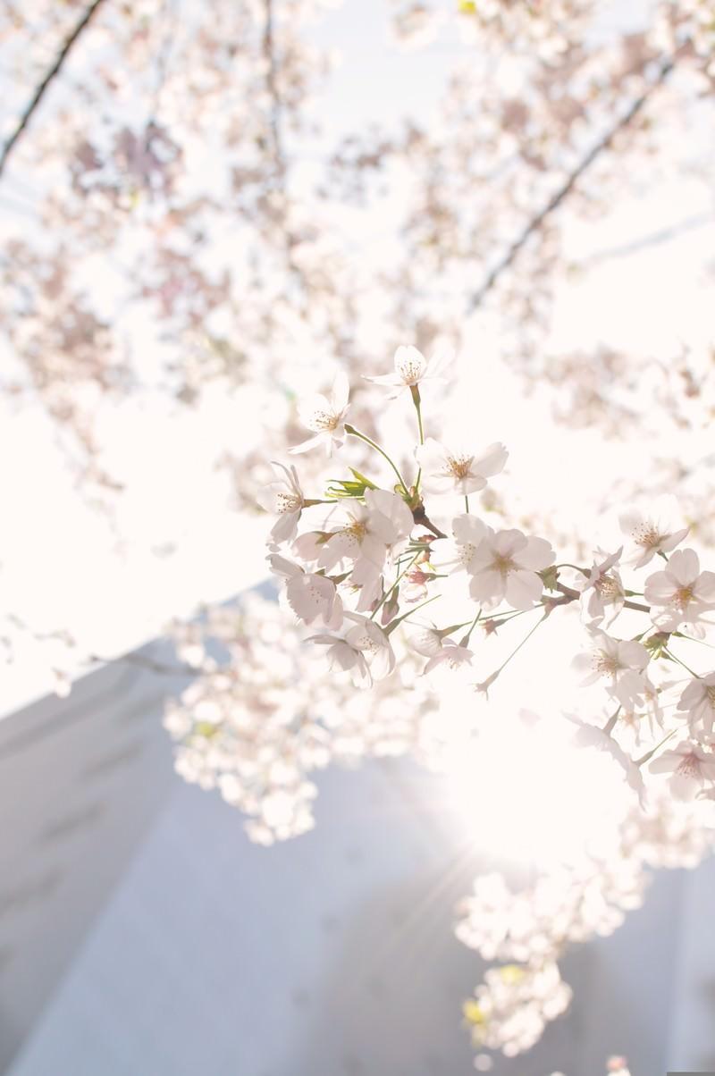 「東京、日に透ける桜の花」の写真