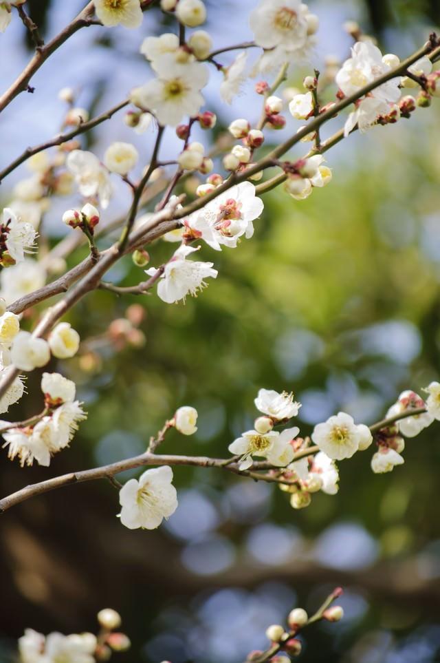 春の麗かな日差しを受ける白梅の写真