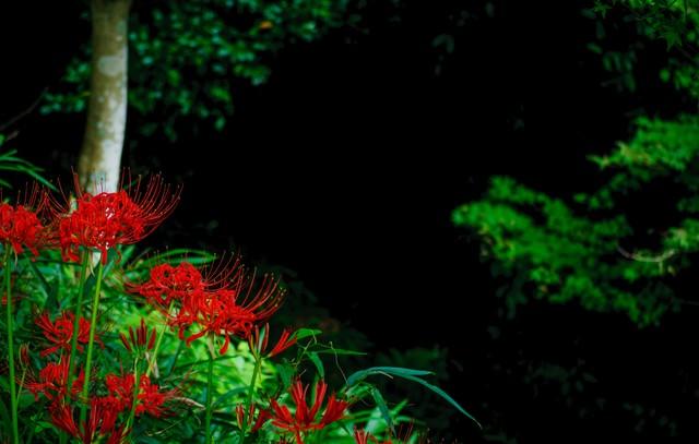 山間に咲く曼珠沙華の写真