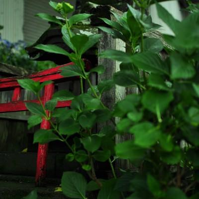紫陽花と祠の写真