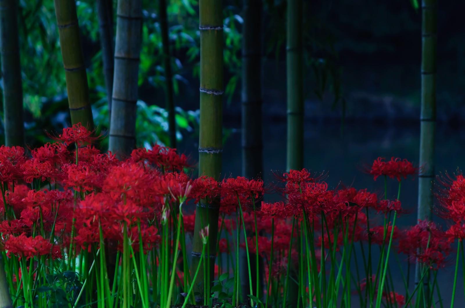 「蒼い闇に咲く紅い曼珠沙華」の写真
