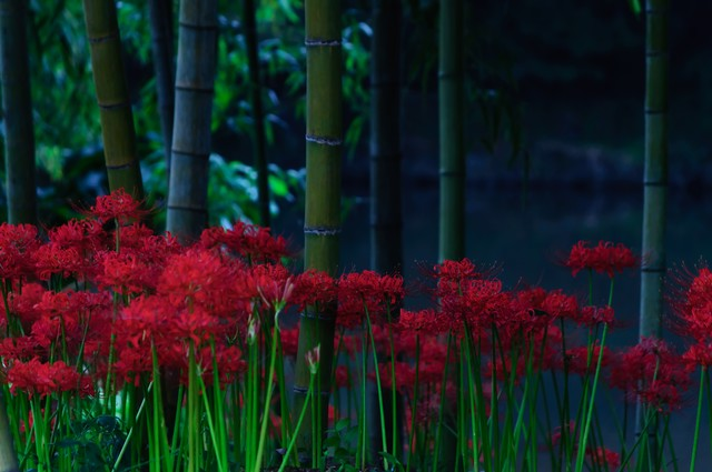 蒼い闇に咲く紅い曼珠沙華の写真
