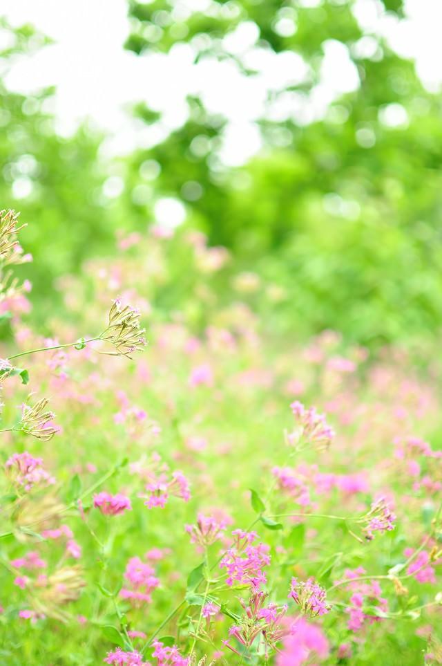 淡いピンクのお花畑の写真