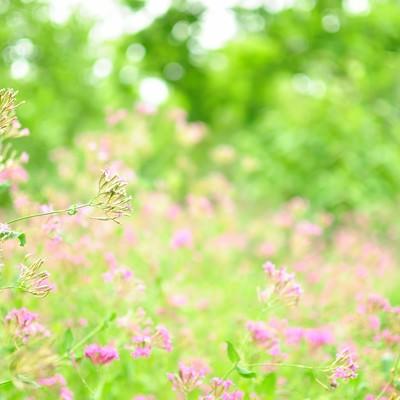 「淡いピンクのお花畑」の写真素材