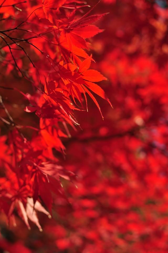 色づく紅葉の写真