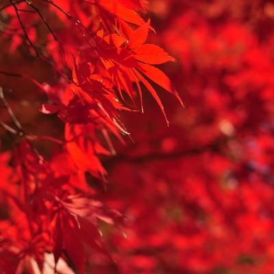 「色づく紅葉」の写真素材