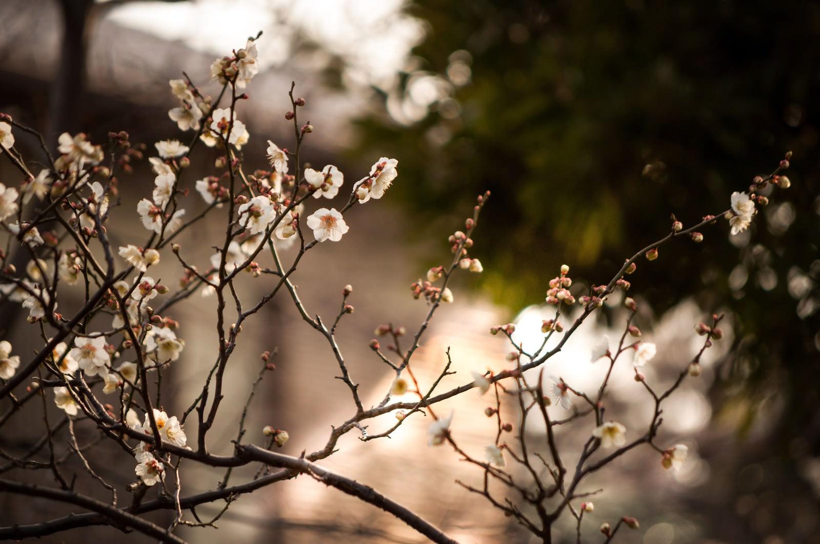 「夕暮れに染まる梅夕暮れに染まる梅」のフリー写真素材を拡大
