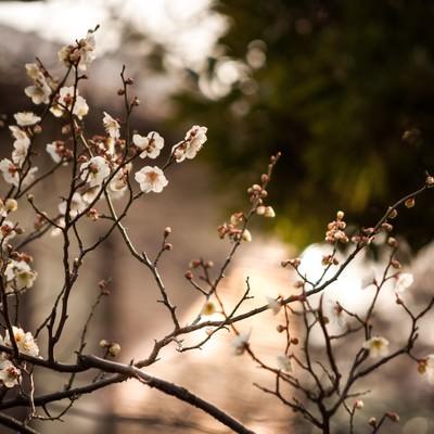 夕暮れに染まる梅の写真