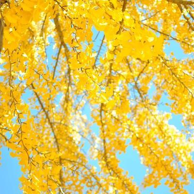 青空と黄葉したイチョウの写真