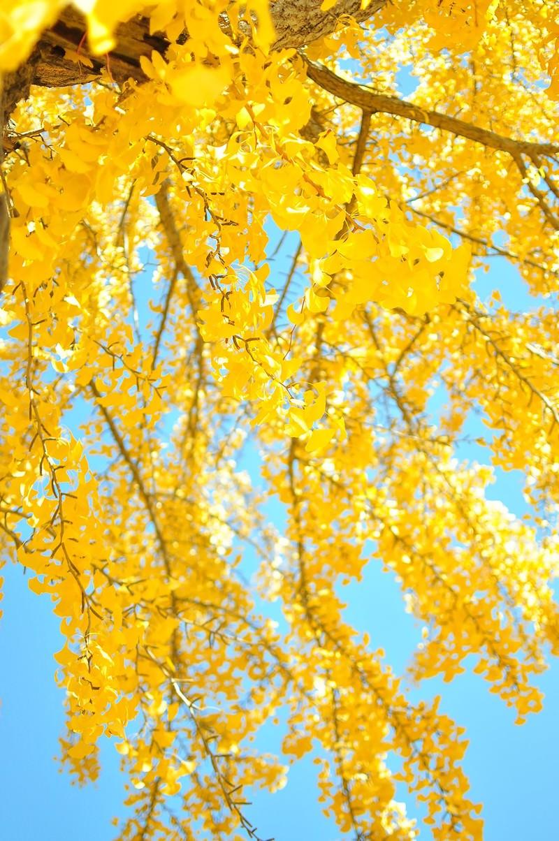 「青空と黄葉したイチョウ」の写真