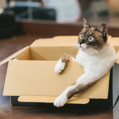 「ダンボール箱でくつろぐ猫」の写真素材