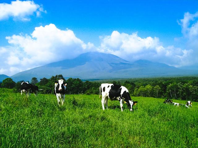 「浅間牧場と牛さん」のフリー写真素材