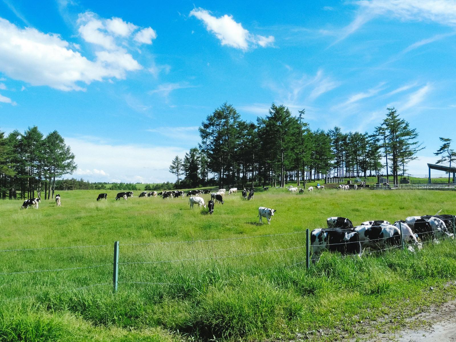 「浅間牧場と牛(長野原町)」の写真
