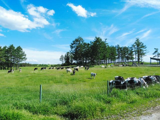 浅間牧場と牛(長野原町)の写真