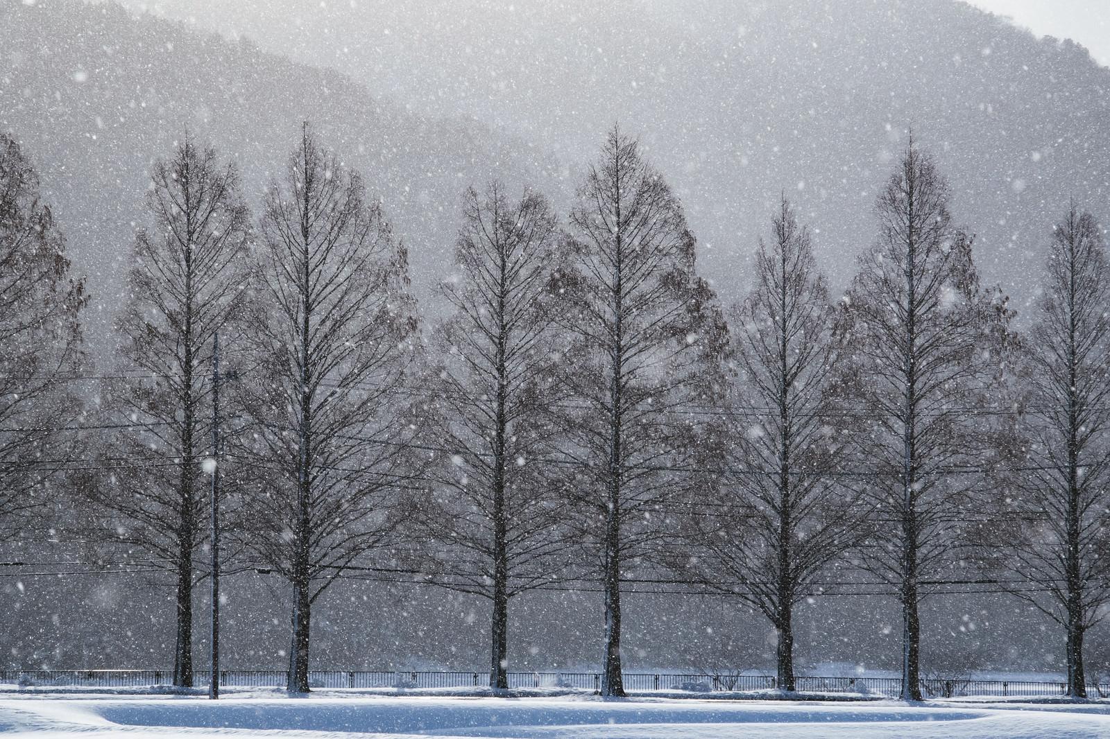 「メタセコイヤと雪の幻想的な風景」の写真