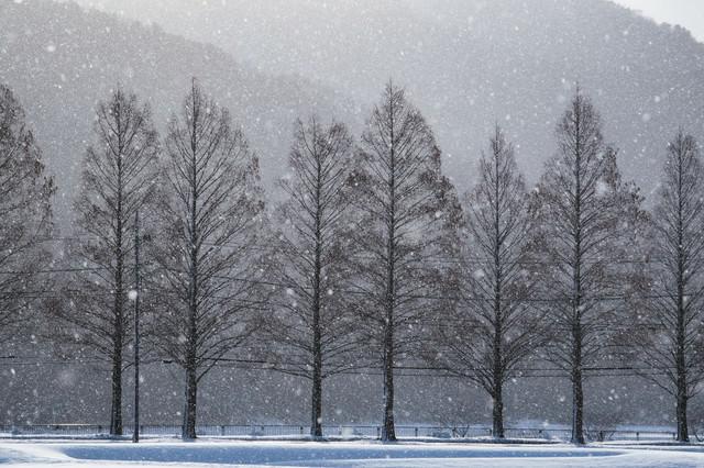 メタセコイヤと雪の幻想的な風景の写真