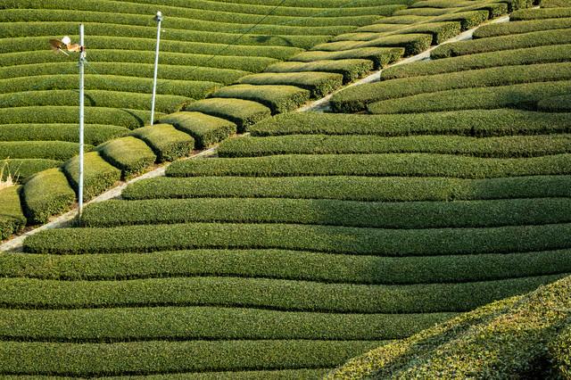 傾斜に段々と広がる茶源郷の写真