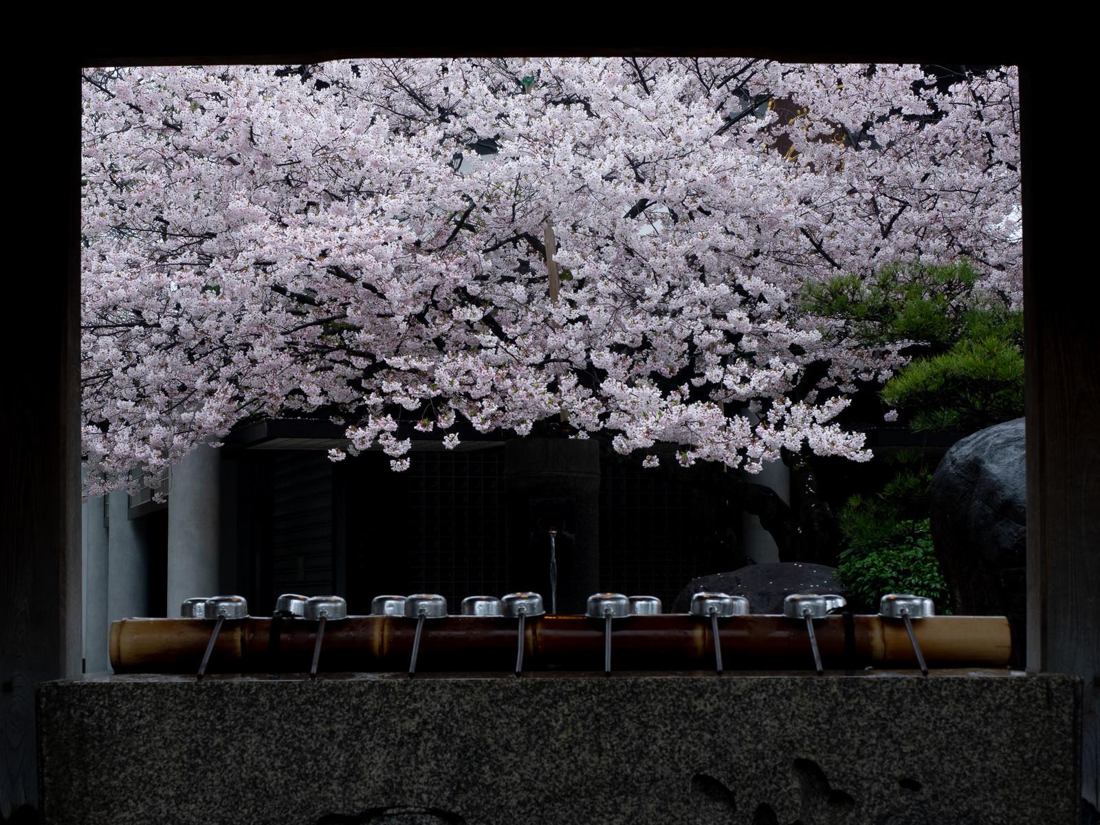 「手水場越しに見える四天王寺の桜」の写真