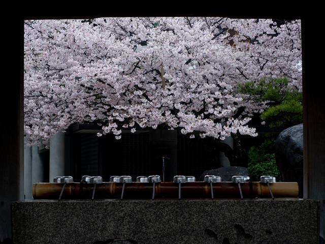 手水場越しに見える四天王寺の桜の写真