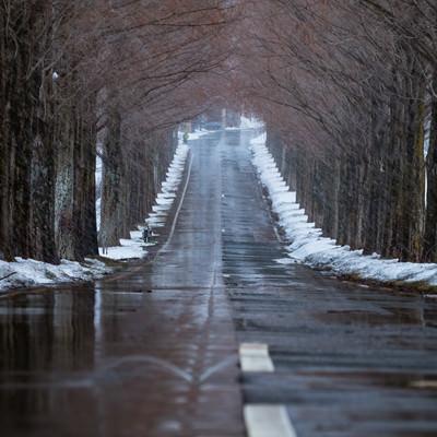 解けた雪で濡れた道路と早朝のメタセコイヤ並木の写真