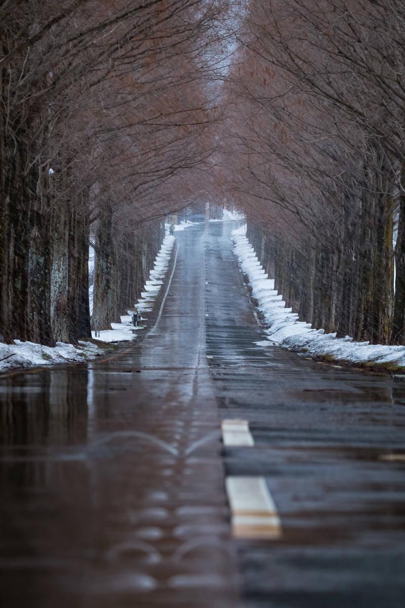 「解けた雪で濡れた道路と早朝のメタセコイヤ並木」の写真