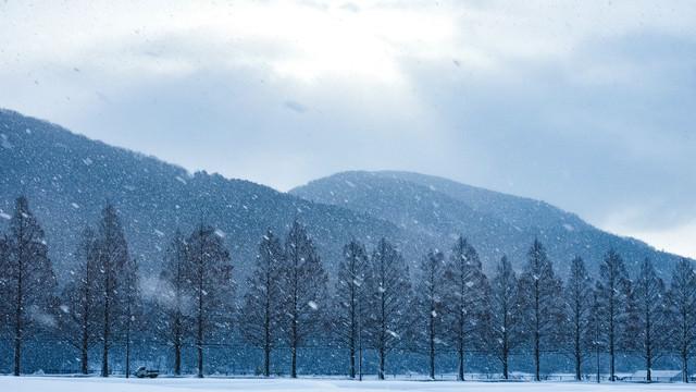 吹雪に見舞われるメタセコイヤ木々の写真