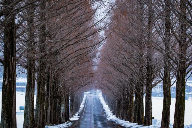 どこまでも続くメタセコイヤ並木の道路の写真