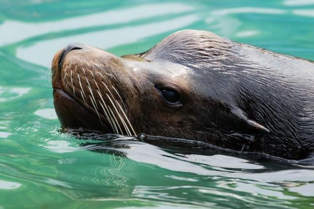 水面を泳ぐアシカの写真