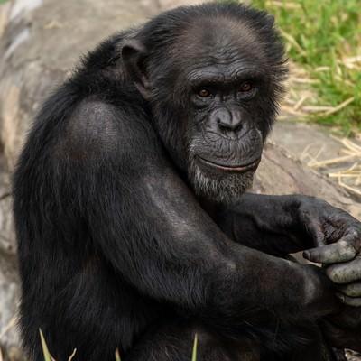 寂しげなチンパンジーの写真