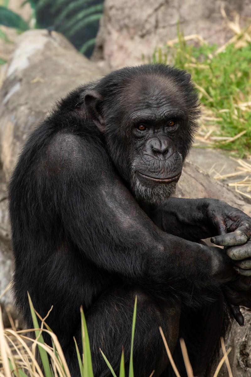 「寂しげなチンパンジー」の写真