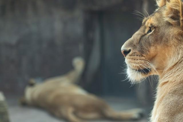 夏の動物園は暑い(ライオン)の写真