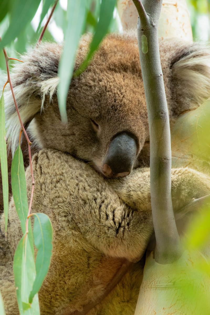 「ユーカリの木の上で眠るコアラ」の写真