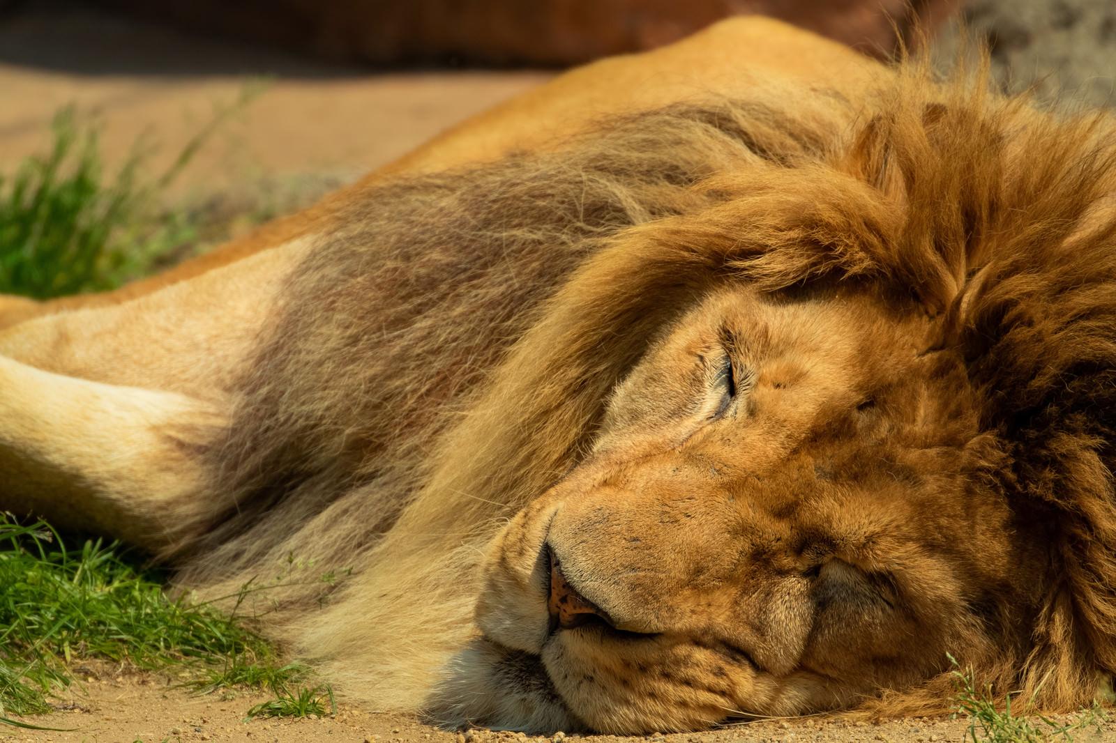 「暑くてバテる百獣の王(ライオン)」の写真