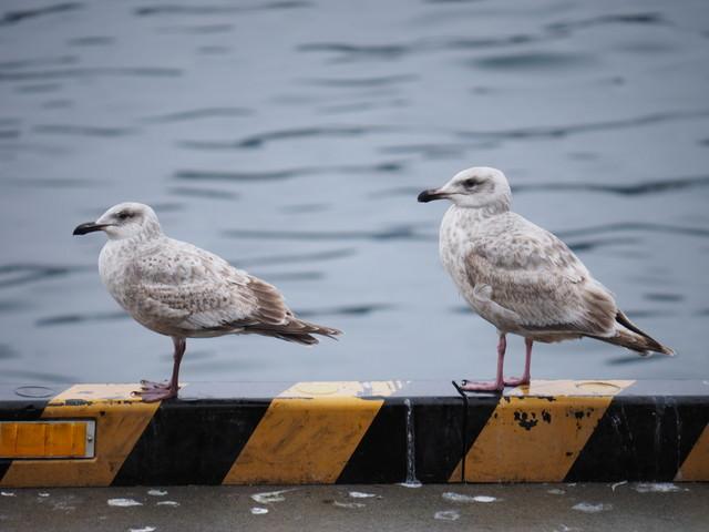 港湾用の車止めで帰船を待つカモメさんの写真