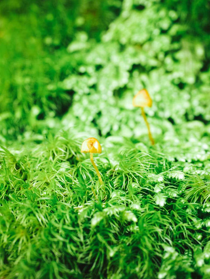 「苔生す絨毯に自生するキノコ」の写真